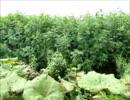 薬草を見つけるaiueo700