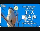 【鳥の鳴き声】モズの鳴き声02鳴き真似?Bull-headed Shrike / Lanius bucephalus【wild birds sounds】身近な生き物語 百舌鳥