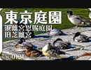 0121R【浜離宮恩賜庭園と旧芝離宮の野鳥】ホシハジロとスズガモ、キンクロハジロ。サザンカとノゲシを食べるメジロ。オオバンとカルガモ、オナガガモ。東京の野鳥スポット #身近な生き物語