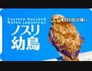 かわいい子供の猛禽類がまったり02【鳥仕草】ノスリ幼鳥【動物と音楽】アンビエントインスピレーション Angel Guides  Jesse Gallagher【瞑想用BGM】