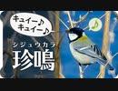 シジュウカラの特殊な鳴き声(キュイーキュイー♪)(四十雀鳴き声05)【鳥の鳴き声】 birdsong of Japanese Tit  身近な生き物語【wild birds sounds】