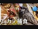 0215B【鳥がムカデを捕食】ムクドリとツグミが百足やゲジを食べる。魚を捕食する鳥3種カワセミ鷺鵜。雨天野鳥撮影。カイツブリ飛翔や奇形のエンジェルウイングカルガモ。#身近な生き物語 #ムカデ #野鳥