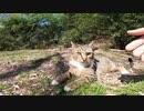 警戒しているキジトラ猫、逃げると思いきや結局モフられてしまう