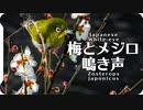 梅とメジロの鳴き声05