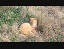 同化して眠る茶トラ猫