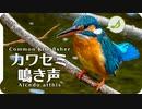 【鳥の鳴き声図鑑】カワセミの鳴き声01さえずり Kingfisher / Alcedo atthis【Birds Chirping】身近な生き物語