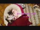 【ハッピー君日記】見ているだけで幸せになる猫 ハッピー君 【ショート】