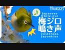 0225b【鳥の鳴き声】梅メジロにオナガとシジュウカラも♪カワセミ因縁の2羽。アカハラ。コサギやツグミ、ムクドリの捕食。タヒバリ。鶴見川水系恩田川の野鳥 #身近な生き物語 #メジロ #野鳥