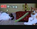 胡瓜に勝った猫「キュウリドッキリを仕掛けたら驚いてくれるかな」【茶白猫の場合】