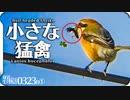0323R1【小さな猛禽モズ捕食虫】カラスと鳩が枝を集めて巣作り。求愛ダンスのコガモ。ハナガメが冬眠から目覚める。奇形のカルガモ。コンデジ野鳥撮影@鶴見川水系恩田川 #モズ #ケラ #身近な生き物語