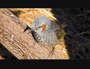 ヒヨドリの鳴き声2