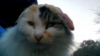 「ペルシャ猫」が「マンチカン」に。。「マンチカン」が「ペルシャ猫」に変わります
