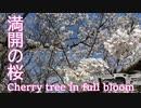 【空撮】 天理ダムの満開の桜 - Cherry tree in full blossom