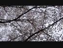 桜と鳥の鳴き声20210328