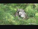 クジャクを丸呑みするニシキヘビ