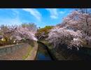 東京散歩 - 杉並区にある善福寺川の桜