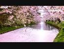 [8Kタイムラプス紀行] 弘前の桜   青森県 弘前公園   Cherry blossoms in Hirosaki   NHK