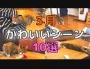 【3月ベスト】キジ三毛猫の面白・かわいい動画集10選【2021/3】【第5回】