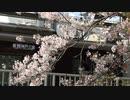 武庫之荘の桜