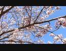 満開の桜20210402