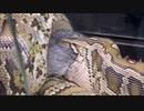 ウサギを丸呑みするビルマニシキヘビ