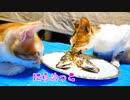野良猫(今は保護猫)が魚を嫌いな理由「食べるには食べるけど…」