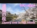 【空撮】 宇陀川桜並木道 - Cherry tree in full blossom