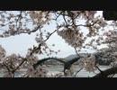 満開の桜【 錦帯橋と吉香公園 周辺の桜模様】スライド版(動画入り) 令和三年三月三十一日
