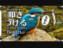 0331B2【カワセミ捕食で魚を叩きつける】猛禽類ツミ。メジロとシジュウカラに青虫が食べられる。足怪我オオバン引っ越し。カルガモ桜。鶴見川水系恩田川でコンデジ野鳥 #身近な生き物語 #カワセミ #捕食