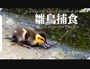 水黽が食べられる。カルガモ親子と雛鳥の捕食