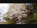 桜と鳥の鳴き声