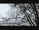 木の上のハトポッポ