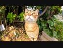 草むらで休んでいた茶トラ猫、近づくと出てきてゴロンゴロン転がった