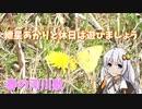 【ボイロ生物部】春の河川敷でモンキチョウを観察しました。