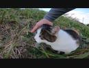 空港が近くにある土手で三毛猫が草を食べながら散歩をしている動画