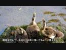 置き去り迷子のカルガモ雛鳥 カルガモの鳴き声03 雛鳥1ヶ月ほど