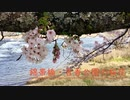 満開の桜【 名勝 錦帯橋と城下 吉香公園 周辺の桜模様】(2) 目加田家住宅〜お堀周辺〜河畔へ