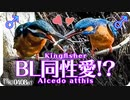 0408B1【同性愛⁉カワセミのBL】男同士で給餌!?カルガモ捕食。ツグミの珍しい鳴き声。セグロカモメ。怪我したオオバン。アオジ。鳩。  鶴見川水系恩田川の野鳥 #身近な生き物語 #カワセミ #BL
