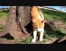 桜の木の下で野良猫が寝ていたので近づいてみたらモフられに起きてきた