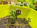 富三菜園、ジャガイモの芽が出たよ。
