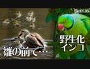 0530B【雛鳥の前でオスに襲われるカルガモ親子の母】野生化インコに食べられるビワ。引越し前に抱卵バンとにらみ合いする鴨親子、親VS親鳥 #身近な生き物語 #カルガモ親子 #ワカケホンセイインコ