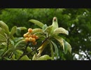 日本で野生化したインコがビワをたべる ワカケホンセイインコ