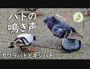 フラれた鳩の鳴き声
