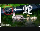 0603B【カルガモ親子とヘビ】12雛鳥減。カワセミ捕食。カラスVSムクドリ。ハクセキレイ子育て 鶴見川流域をコンデジで野鳥撮影 #身近な生き物語 #カルガモ親子 #ムクドリ