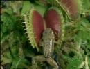食虫植物ハエトリグサがカエルを捕食する瞬間など thumbnail