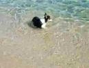 コーギー海水浴