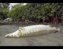 巨大魚 画像集