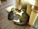 あんまねこの息子クッキーと子猫ミーミー