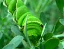 【ニコニコ動画】アゲハ幼虫のお食事を解析してみた