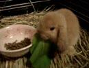 【うさうさ動画】こどものうさぎに小松菜をあげてみた。 thumbnail